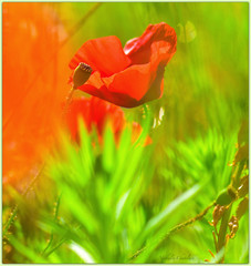 Endless summer.... (www.nathalie-chatelain-images.ch) Tags: t summer prairie meadow fleurs flowers coquelicots poppies rouge red vert green nikon