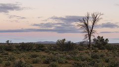 Sunset tree (Eduardo_il_Magnifico) Tags: sunset tree vegetation bush australia desert southaustralia outdoors outback kalabity olary pink purple sky clouds nikond7000 35mmf18