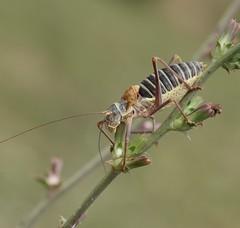 Steppensattelschrecke, Ephippiger ephippiger (Phil Arachno) Tags: france vauvenargues insecta orthoptera arthropoda ephippiger