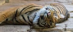 Suka (ToddLahman) Tags: suka sumatrantiger tigers tiger tigertrail tigercub escondido canon7dmkii canon canon100400 sandiegozoosafaripark safaripark
