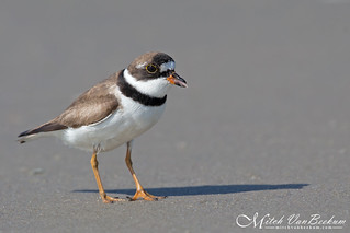 How Rude! (Semipalmated Plover)