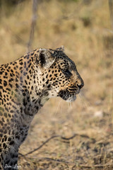 DT-143 (Photography by Brian Lauer) Tags: africa botswana safari safaris wildlife travel nikonphotography nikon lion elephant hippo fisheagle saddlebilledstork piedkingfisher lilacbreastedroller wilddog