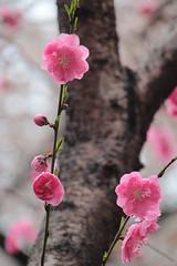 Sakura in Mitaka (Toni Kaarttinen) Tags: japan  japonia    jap japonsko jaapan  japani japon xapn    japn jepang an tseapin giappone  japna japonija  japo  japonska japn hapon  japonya nht bn tokyo tokio japanese sakura hanami hanami2016 cherry cherries flower blossom cherryblossom cheeryblossoms cherryblossoms cheryblossom cherryflower celebration spring happiness skyscraper mitaka