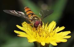Happy Flyday! (ashperkins) Tags: flydayfriday episyrphusbalteatus fly dipteria hoverfly marmaladefly ashperkins flyeyes macro closeup bbcwalesnature graig glanconwy northwales
