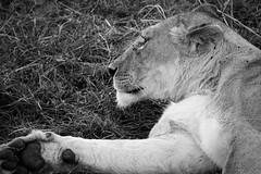 Leona / Lioness (rrmontero) Tags: leon lion masaimara sabana africa kenya kenia animal blancoynegro bn bw safari