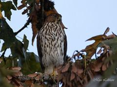 Autumn colors (Maja's Photography) Tags: bc birds hawk raptors nature naturephotography feathers forest fantasticnature canon canada closeup trees brown b juvenileredtail