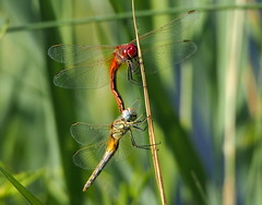 a couple of dragonflies (quarzonero ...Aldo A...) Tags: dragonflies libellule nature odonata insetto coth coth5 ngc sunrays5