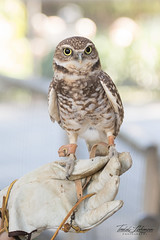 Dudley (ToddLahman) Tags: burrowingowl owl sandiegozoosafaripark safaripark escondido canon7dmkii canon canon100400 closeup