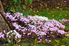 Brecon, Powys (Oxfordshire Churches) Tags: brecon aberhonddu powys wales cymru panasonic lumixgh3 uk unitedkingdom johnward churches anglican churchinwales cathedrals cyclamen wildflowers