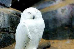 Male Snowy Owl of Ueno Zoo :  (Dakiny) Tags: 2016 autmn september japan taito ueno outdoor nature park uenopark zoo uenozoo creature animal bird raptor birdofprey owl snowyowl nikon d7000 sigma apo 70200mm f28 ex hsm apo70200mmf28exhsm sigmaapo70200mmf28exhsm nikonclubit tokyo