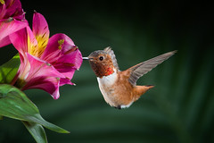 Upbeat (Patricia Ware) Tags: 1160sec allenshummingbird alstroemeria backyard birdsinflight california canon ef500mmf4lisusm fullframe iso200 manhattanbeach multipleflash selasphorussasin tripod f29 httppwarezenfoliocom 2016patriciawareallrightsreserved specanimal