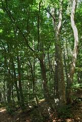 (liliumregale) Tags: asiago faggi bosco beechwood