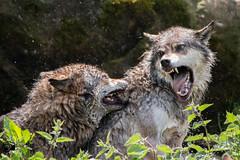 Action bei den Wlfen / Action with the wolves / 01 (Saarblitz) Tags: actionbeidenwlfenactionwiththewolves europischegrauwlfe wolf rangordnung kampf spiele tiere natur blutig outdoor rudel dominanz beissen heulen tier ngc