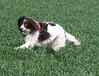 Playing in the grass (Shooting Star <3) Tags: dog playing english grass spring running spaniel springer indi