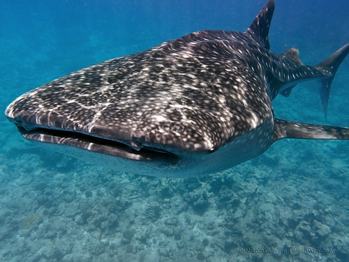 little whale shark