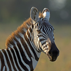The Early Riser! (MAC-Kenya) Tags: sunrise kenya ngc zebra soe autofocus greatphotographers specanimal fantasticnature specialtouch lakenakurunp goldwildlife canon300mmf28isl photoshopcreativo alittlebeauty saariysqualitypictures bestcapturesaoi naturesgreenpeace canoneos1dmkiv mothernaturesgreenearth elitegalleryaoi mygearandmebronze mygearandmeplatinum mygearandmediamond mackenya ringexcellence dblringexcellence allnaturesparadise amazingwildlifephotography allofnatureswildlifelevel1 allofnatureswildlifelevel2 allofnatureswildlifelevel3 allofnatureswildlifelevel4 rememberthatmomentlevel1