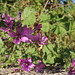 "Malva sylvestris • <a style=""font-size:0.8em;"" href=""http://www.flickr.com/photos/62152544@N00/7000239192/"" target=""_blank"">View on Flickr</a>"