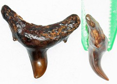 Pathological Sand Tiger (Fossiltoothpic) Tags: macro animal animals canon tooth fossil teeth paleontology prehistoric extinct fossils sharkteeth sharktooth 60mmmacro sandtiger carcharias miocene pathological canoneos7d fossilsharktooth fossiltooth fossilteeth
