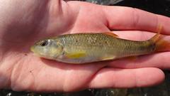 Creek Chub,  Semotilus atromaculatus (tinkVT) Tags: creek chub cyprinidae semotilus atromaculatus