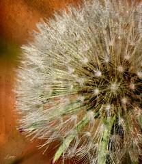 Make a Wish & Blow....~Explored~ (linnyfal) Tags: dandelion seeds wish makeawish linnyfal