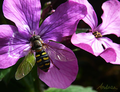 Hoverfly on Honesty (Durley Beachbum) Tags: honesty hoverfly eupeodescorollae