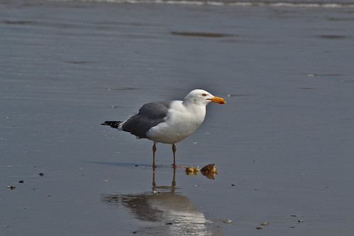 Herring Gull enjoying lunch on the beach