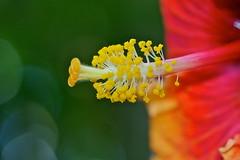 Tropical hibiscus (Deb Jones1) Tags: flowers orange flower macro nature floral beauty canon garden botanical outdoors hibiscus blooms flickrduel flickrawards debjones1