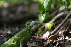 Female iguana (@nico_b) Tags: iguana iguane frenchwestindies iletchancel