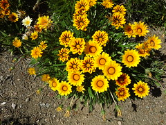 gazania (flora-file) Tags: california plants garden tour gardening wildflowers horticulture natives bringingbackthenatives