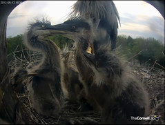 Nest play often seems a little aggressive! (y.mclean) Tags: heron nest cornell ornithology greatblueheron sapsuckerwoods cornelllabofornithology