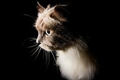 Chopper. (Matthew Post) Tags: blackbackground cat chopper post matthew burmese himalayan adultcat strobist matthewpost himalayanburmese