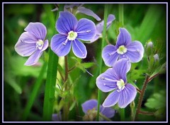 to you all a nice weekend (karin_b1966) Tags: plant flower nature blossom natur pflanze blume blte 2012 naturewalk spaziergang ehrenpreis