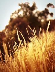 Summertime (Marga Corameta) Tags: sunset summer golden countryside dof bokeh grain cereal verano mallorca dorado estiu espigas llub
