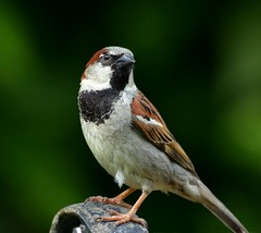 Cute House Sparrow (KoolPix) Tags: bird nature animal sparrow housesparrow naturephotography naturephotos koolpix thewonderfulworldofbirds birdstnc11 photocontesttnc12 jaydiaz jaydiaznaturephotographer