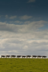 Cow Procession (jillyspoon) Tags: field grass cows row follow line leader procession milking dumfries galloway friesians onebyone waitingtillthecowscomehome