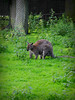 St Helens Wallaby (Keithjones84) Tags: park sthelens merseyside sherdleypark