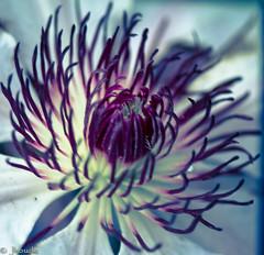 (Josee Houde) Tags: plants flower macro outdoors spring clematis