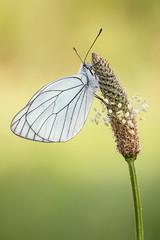 Aporia Crataegi (Simone Chierici_Boyetto) Tags: macro love closeup canon butterfly simone sigma 150 farfalla aporia crataegi cerambice melitea chierici boyetto aporiafarfallapoti meliteaea