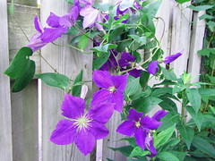 Clematis (mahar15) Tags: flower garden purple clematis vine perennial jackmani