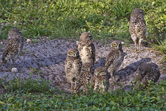 Hail, Hail, The Gang's All Here (Still) (TNWA Photography (Debbie Tubridy)) Tags: park family wild usa nature birds outside outdoors nikon natural florida wildlife ground siblings environment habitat survival growingup avian offspring unit nests athenecunicularia burrows countypark burrowingowls coopercity juveniles babyowls specanimal grassyareas brianpiccolopark grassylandscape coth5 tnwaphotography