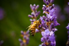 120623_043_Lavendel (blichb) Tags: summer flower macro garden sommer blume makro garten haan 2012 biene lavendel fbdg blichb