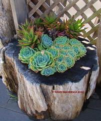 Echeveria x imbricata (Kelley Macdonald) Tags: succulent crassulaceae echeveria echeveriaximbricata succulentpot