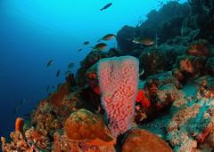 Vase sponge (gillybooze (David)) Tags: sea fish underwater reef sponge bonaire autofocus thegalaxy ©allrightsreserved mygearandme mygearandmepremium mygearandmebronze mygearandmesilver mygearandmegold mygearandmeplatinum mygearandmediamond madaleundewaterimages vpu1 vigilantphotographersunite vpu2 vpu3 vpu4 vpu5 vpu6 vpu7 vpu8 vpu9 vpu10