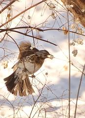 Fieldfare (Bargais) Tags: snow bird berry latvia fieldfare latvija kuldiga kuldīga