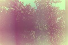 Expired & Exposed (craigowaffles) Tags: summer film strange analog 35mm out gold lomo lomography experimental unitedstates kodak cyan 11 iso 200 predigital northamerica overexposed oops zenit washed 135 expired exposed orangetree 2012 centralflorida c41 colornegative