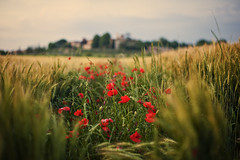 Rurality (AllardSchager.com) Tags: red roses italy green nature field barley june yellow rural vintage landscape 50mm evening town spring nikon dof village bokeh farming scenic panoramic farmland retro tuscany vista romantic dreamy siena geography avond toscana toscane lente region idyllic dreamland eclectic italie goldenhour harsh bold 2012 papaver selectivefocus embedded toning idyllisch f20 klaprozen beautyinnature touristdestination leadin nikcolorefexpro rurality monteronidarbia d700 nikond700 lucignanodarbia mediterraneancountry nikonfx allardone allard1 nikkor50mmf14g duohardstrak fullframepower allardschagercom