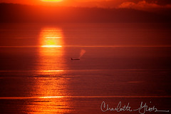 Orca Taking a Breath at Sunset (Charlotte Hamilton Gibb) Tags: sunset orange landscape wa whale orca fridayharbor sanjuanisland charlottegibbphotography