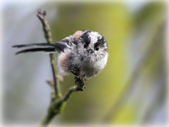 See you soon (niknok2007...) Tags: wild tree cute bird nature face branch yorkshire young july lincolnshire fledgling 2012 longtailedtit ltt fledge niknok2007