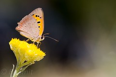 Explored - Common copper / kleine vuurvlinder (Lycaena phlaeas) (BJSmit) Tags: butterfly insect spain insects explore 7d copper falter mariposa insekt vlinder aragn smallcopper lycaenidae fiscal lycaenaphlaeas lycaena vuurvlinder 100l canon100mm explored commoncopper kleinevuurvlinder eos7d canon7d canonef100mmf28lmacroisusm canon100mml lycaenaphlaeasphlaeas