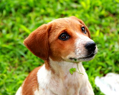 Cute Puppy (subhashish.paul) Tags: portrait dog india cute nature animal canon puppy bangalore canon550d me2youphotographylevel2 me2youphotographylevel1